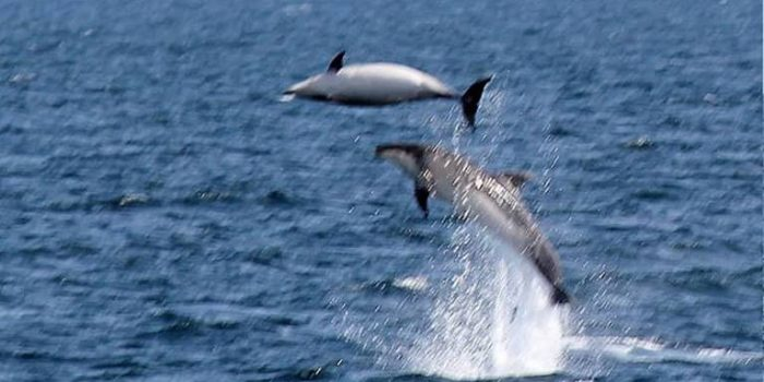 Great Barrier Island Dolphins